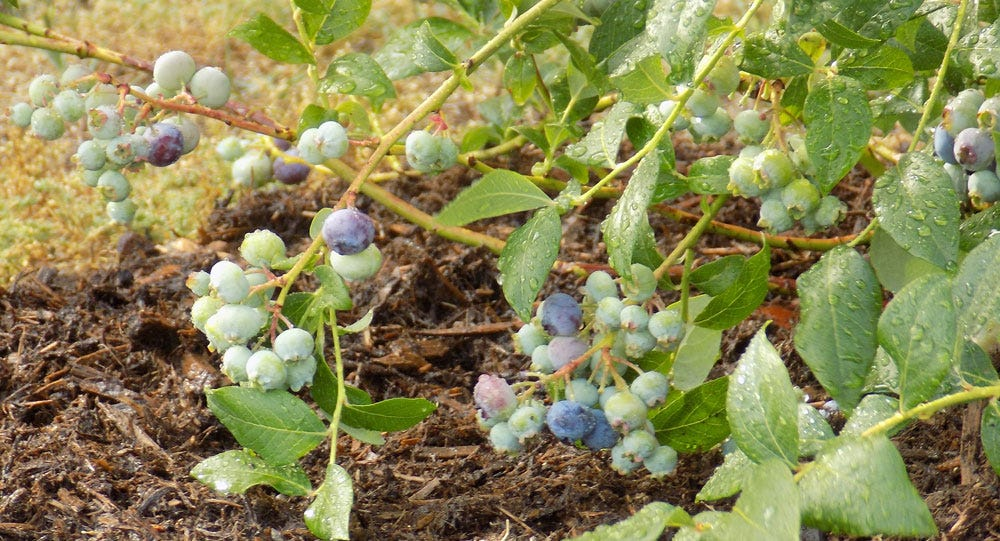Blueberries are ready